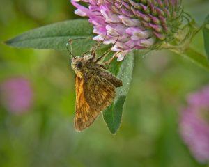 hesperidae_o_sylvanus-1
