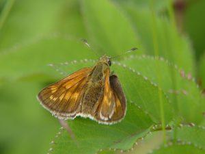 hesperidae_o_sylvanus-2
