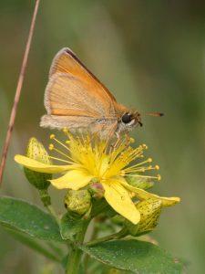 hesperidae_t_lineolus-1