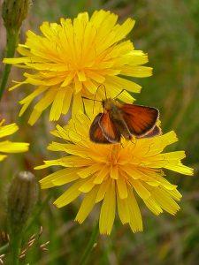 hesperidae_t_lineolus-2