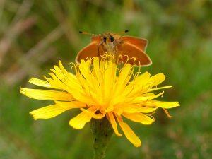hesperidae_t_lineolus-3