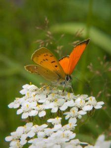 L. virgaureae (Kultasiipi)