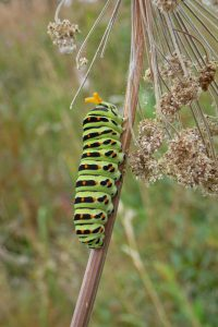 papillionidae_p_machaon-3