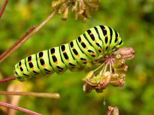 papillionidae_p_machaon-4