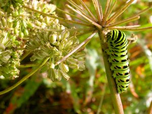 papillionidae_p_machaon-5