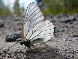 pieridae_a_crataegi-4