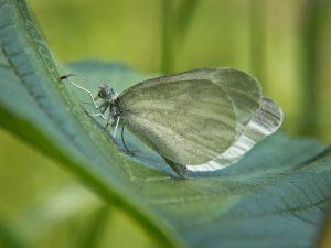 pieridae_l_sinapis-2