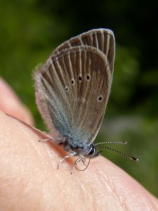 polyommatinae_c_semiargus-1