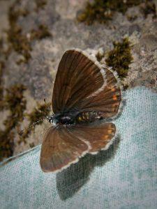 polyommatinae_p_amandus-2