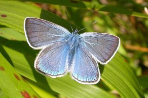 polyommatinae_p_icarus-1