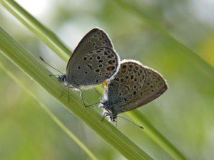 polyommatinae_p_optilete-1