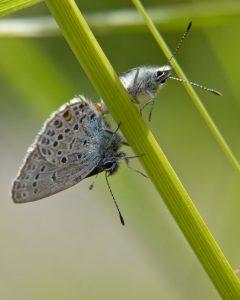 polyommatinae_p_optilete-2