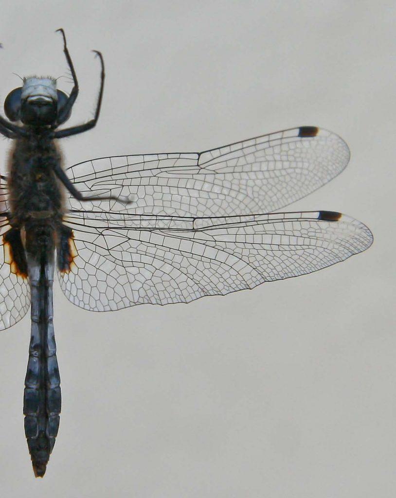leucorrhinia_caudalis-4