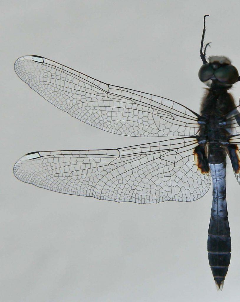 leucorrhinia_caudalis-5