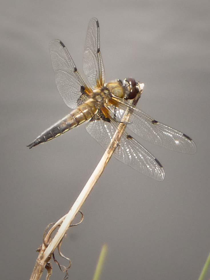 libellula_quadrimaculata-2