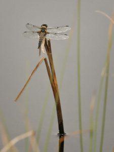 libellula_quadrimaculata-3