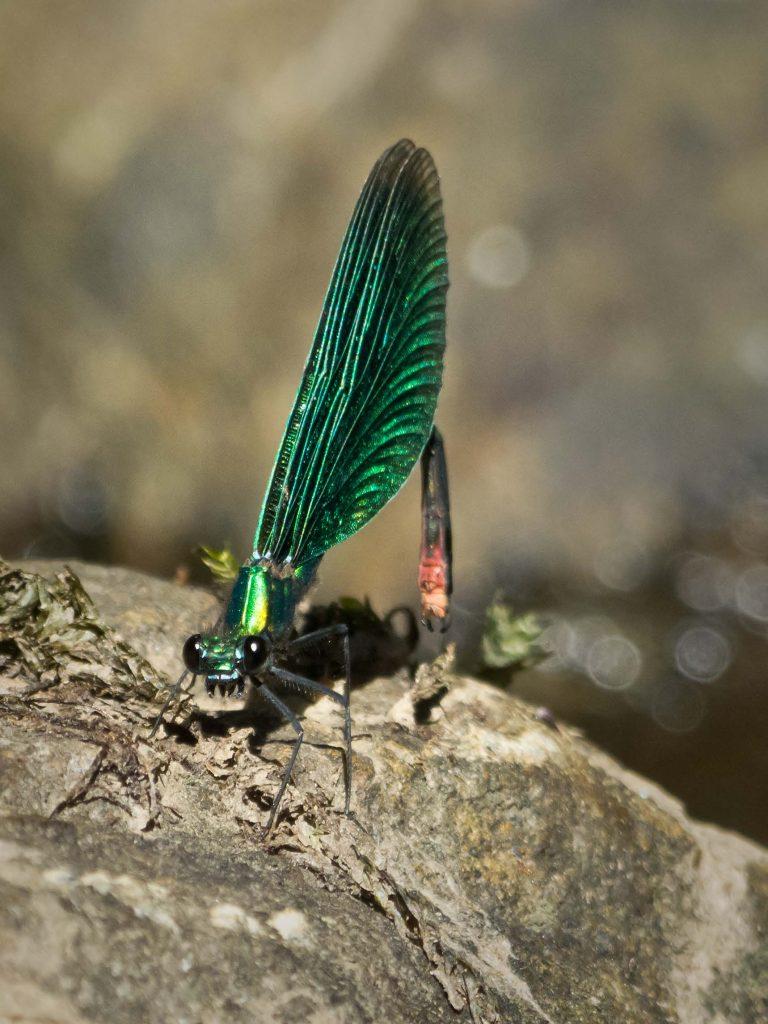 zygoptera_c_virgo-2